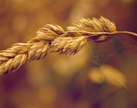 Macro image of Wheat
